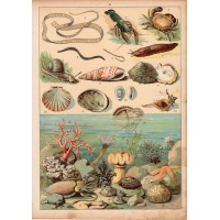 Crawfish, oyster, snail, leech, actinin, coral (24) lithography 1880