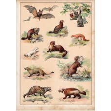 Bat, ermine, marten, mongoose, weasel (3) lithography 1880