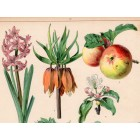 Apple, pear, radish, lily (17), lithography 1880