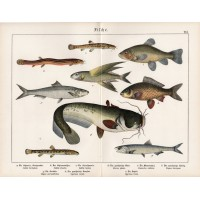 Silurus, striga, herring, blue flying fish, tench, sardelle, lithography 1890