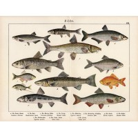 Salmon, mullet, minnow, goldfish, crucian, lithography 1890