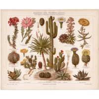 Cactus, lithography 1888