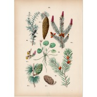 Redwood, juniper, yew tree, frog-bit - lithography 1884