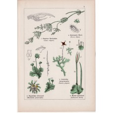 Algae, scale-moss and scouring-rush, bog-moss, hair-moss, lithography 1895