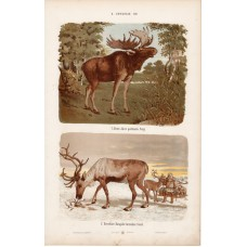 Alces, reindeer and deer, roe, lithography 1885
