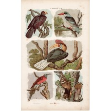 Bee-eater, kingfischer, hoopoe and woodpecker, roller, lithography 1885
