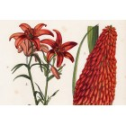 Lily, kniphofia uvaria and palmyra, lithography 1885