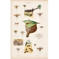 Ant, anthill and beetle, nut-weevil, lithography 1885