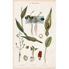 Arum lily, frog-bit, day-flower and screw-pine, lithography 1885